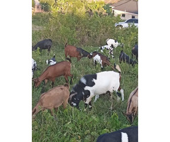 Goats for sell .