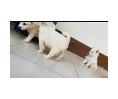 Baby Male purebred Japanese spitz for sale