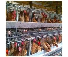 Sell  all fertilised eggs and all poultry breeds