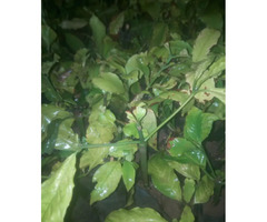 Coffee Plant Seller for sale