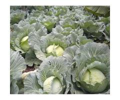 Cabbage Escazu F1/ Hybrid 2500 Seeds foor sale
