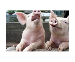 Mature Pigs Buyer