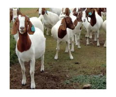 Bore Goats for sale