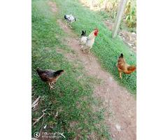 Local Chicken (hen)