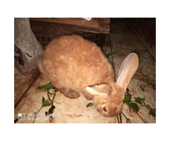 Selling of crossed wild and exotic Rabbits