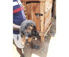 German shepherd  pure breed